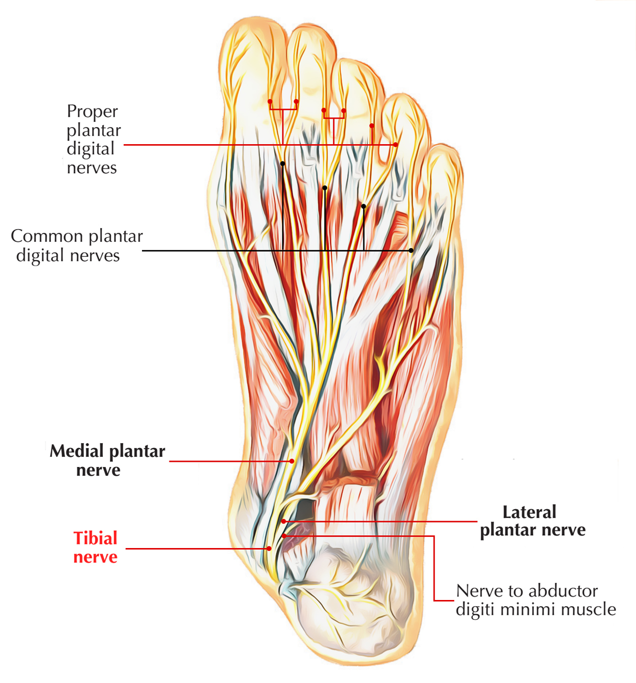 Nerves of Foot: Tibial Nerve