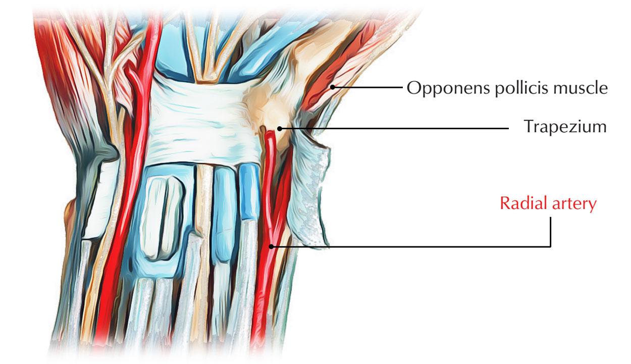 Blood Supply of Trapezium