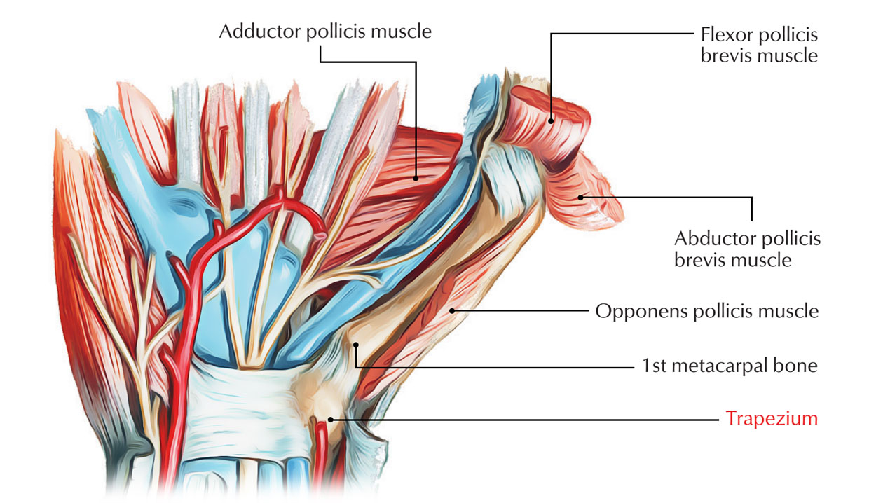 Muscles attached to Trapezium