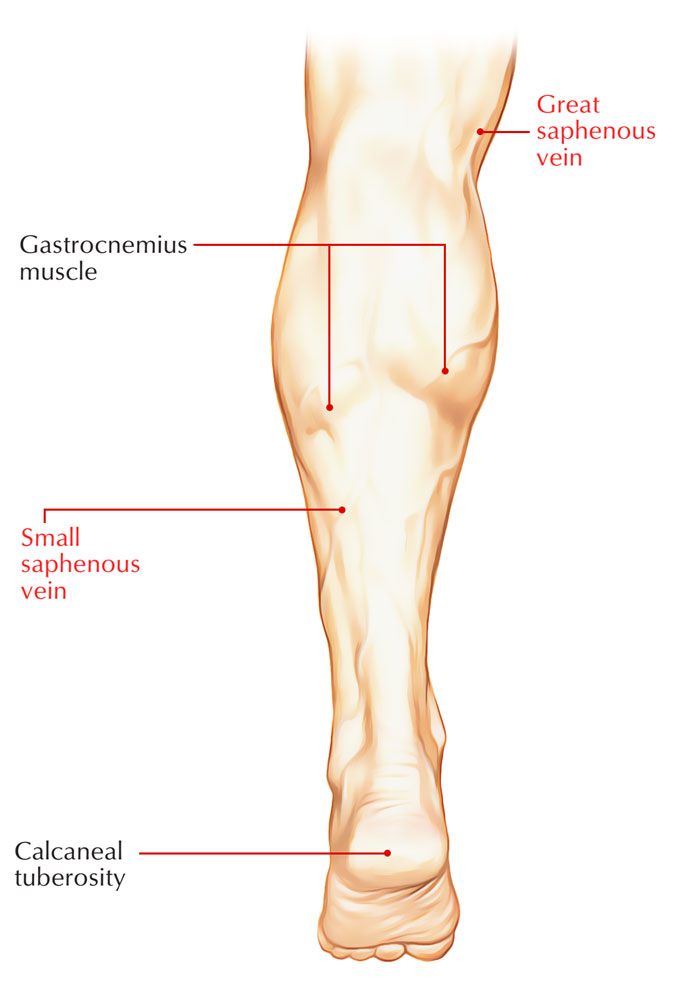 Lower limb veins anatomy