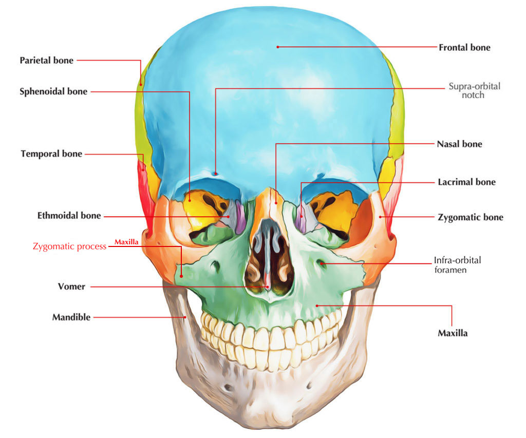 Zygomatic Process of Maxilla