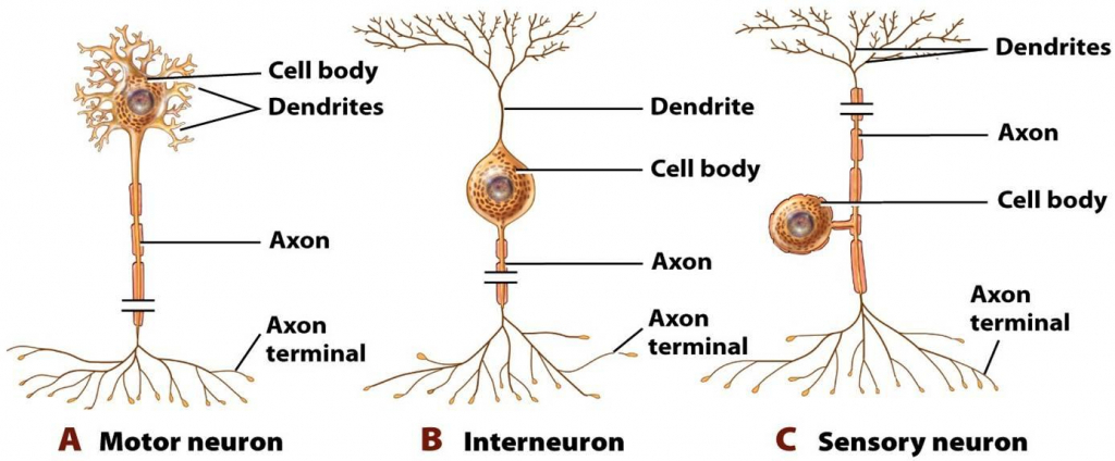 Motor, Sensory and Interneuron