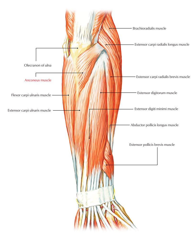 Anconeus Muscle