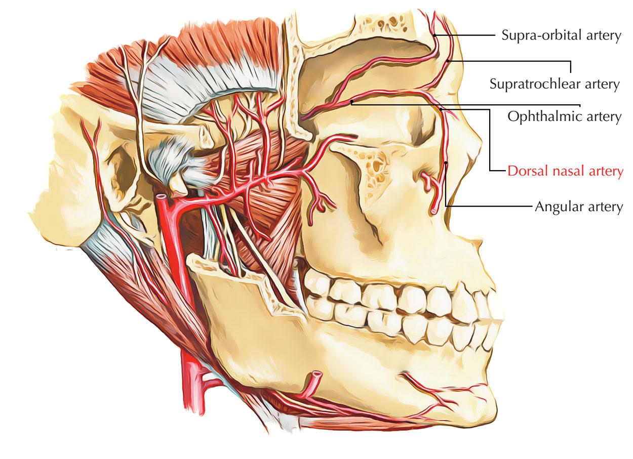 Dorsal Nasal Artery