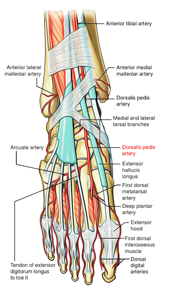 Arteries of Foot: Dorsalis Pedis Artery