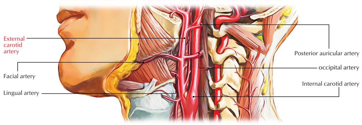 Occipital Artery External Carotid Arter...