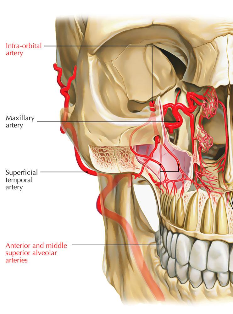 Infraorbital Artery