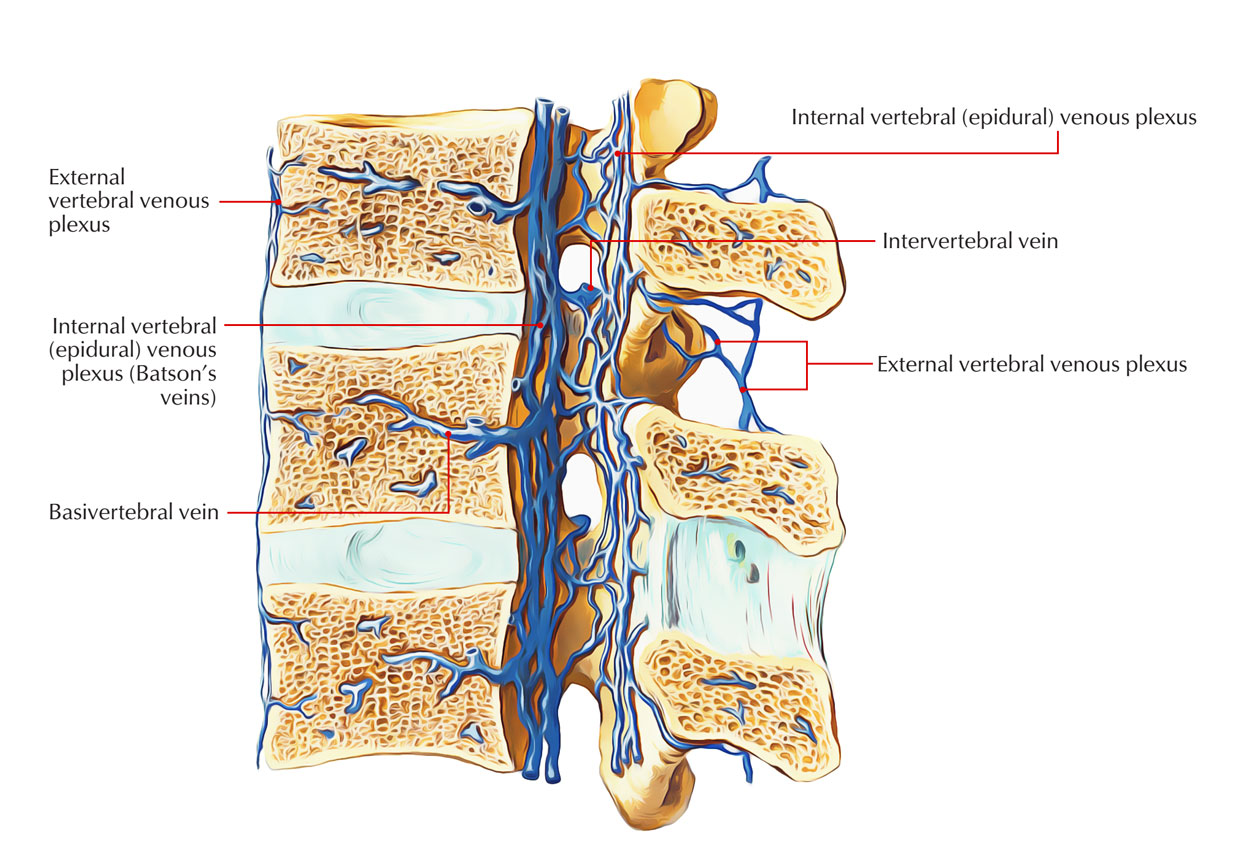 Internal and External Vertebral Venous Plexus