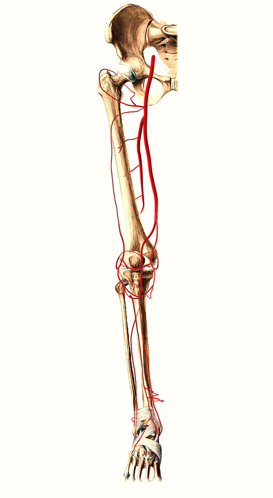 Easy Notes On 【Posterior Tibial Artery】Learn in Just 3 Minutes!