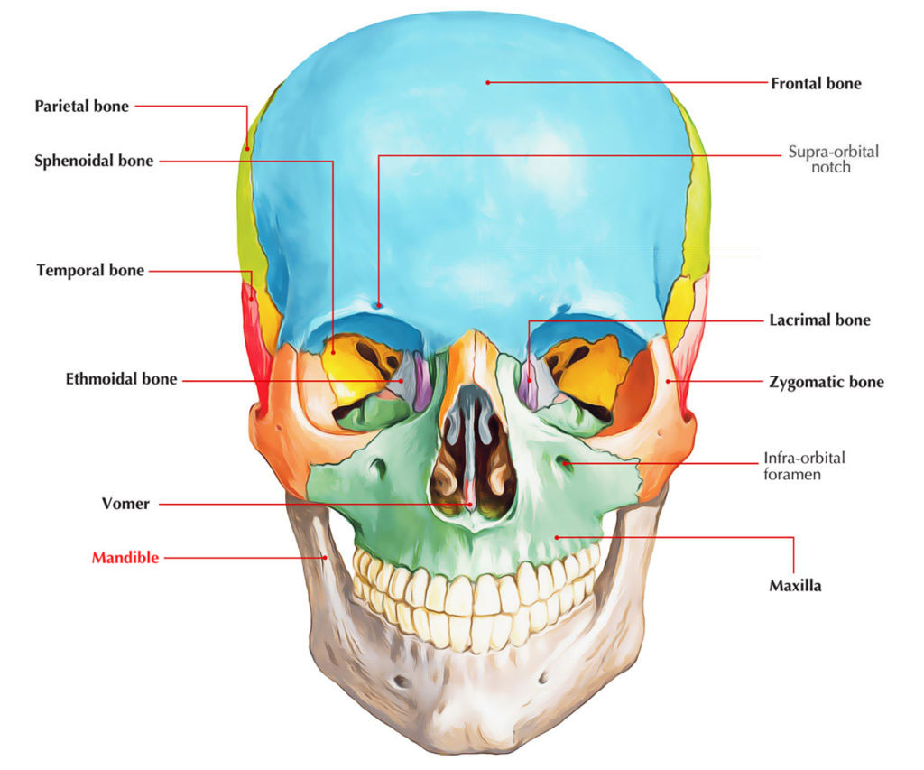 Body of Mandible – Mandibular Body