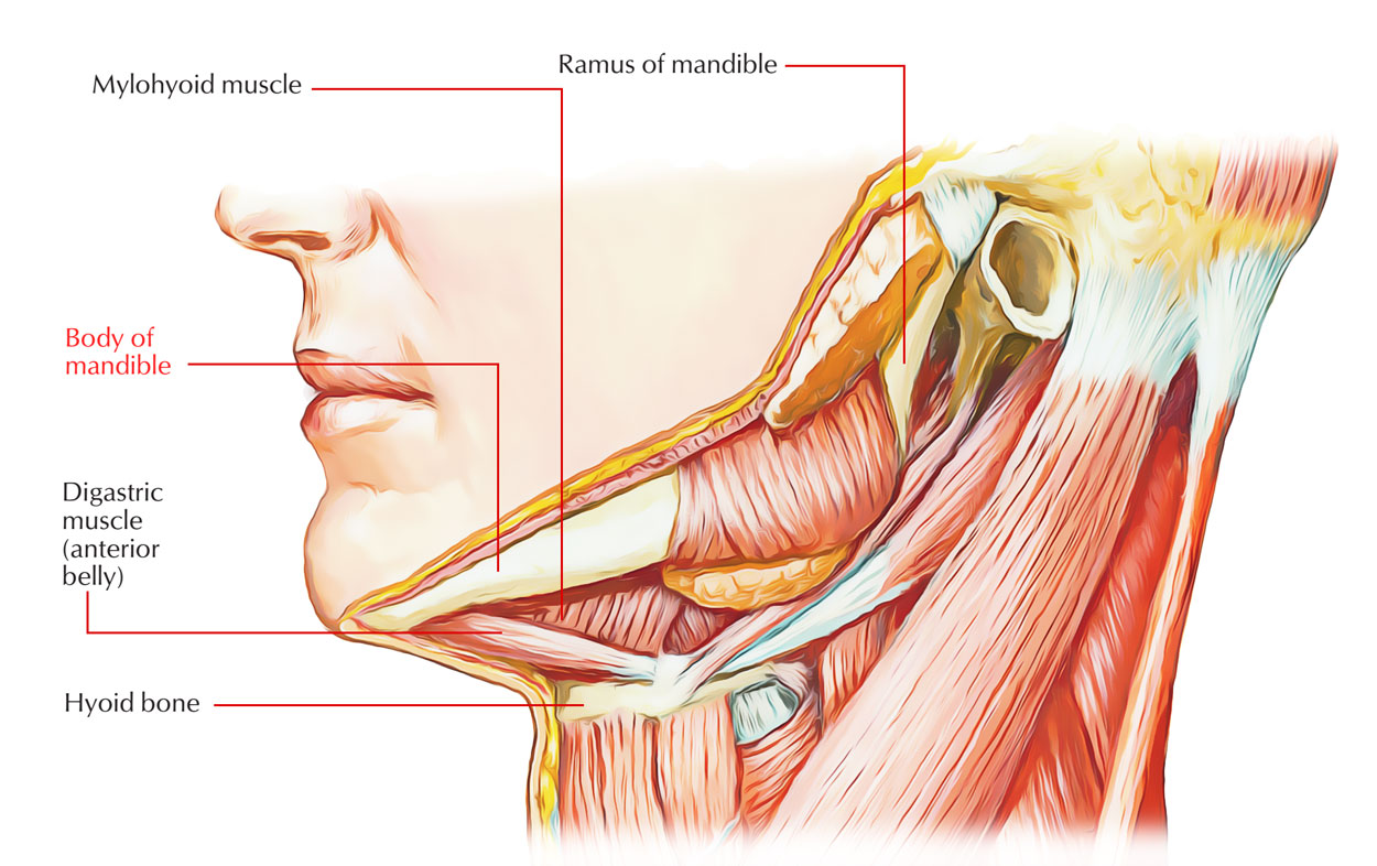 Muscles Attached to Mandibular Body