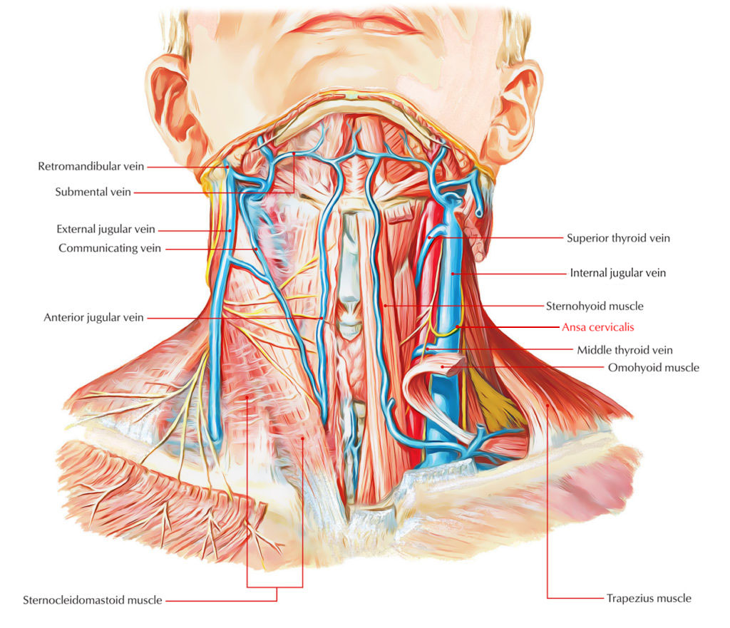 Innervation of Omohyoid muscle