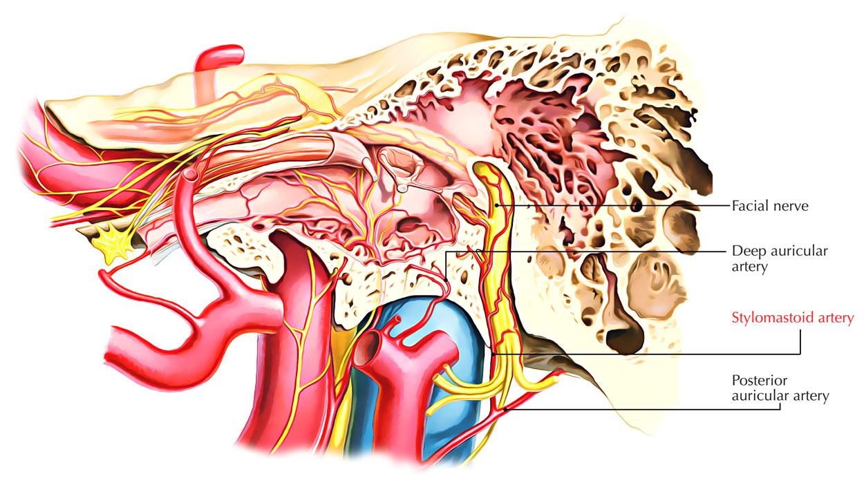 Stylomastoid Artery