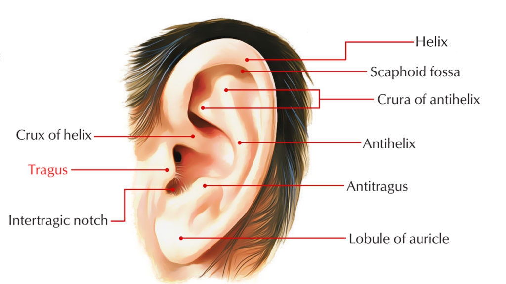 Tragus of the Ear