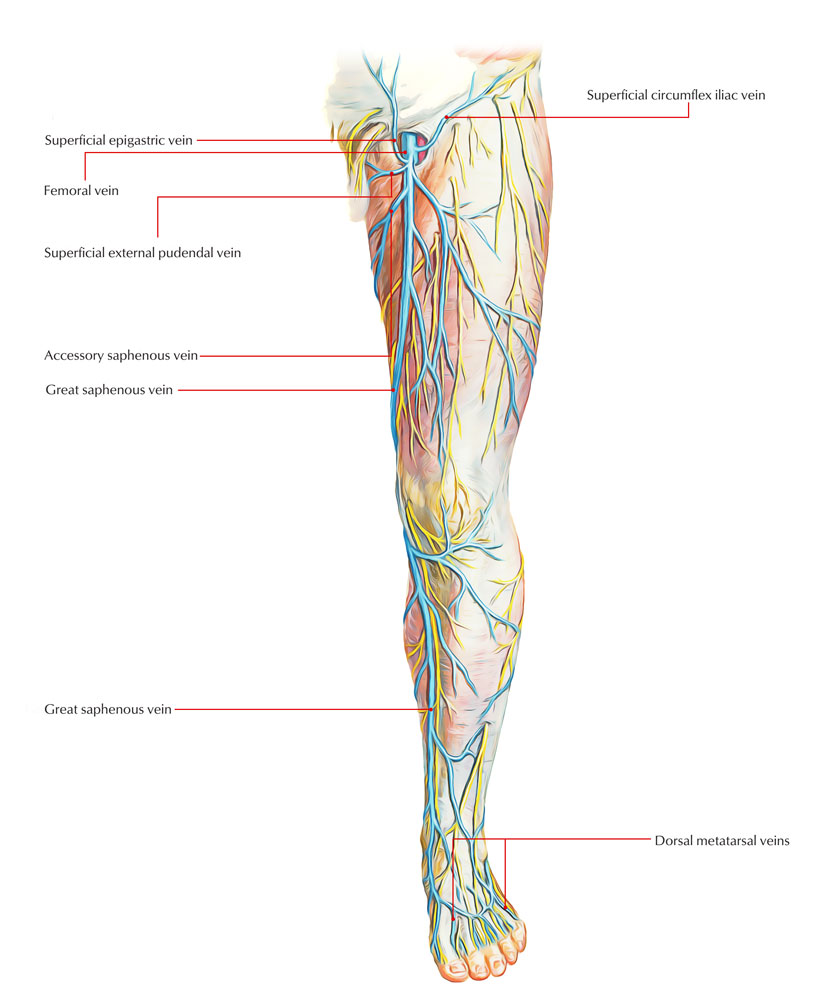 superficial leg veins anatomy