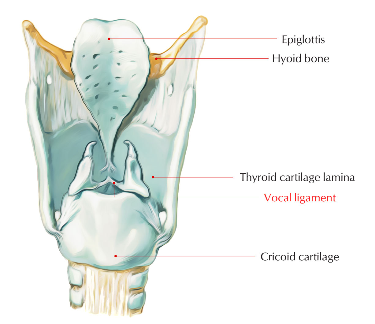 Thyroid Cartilage - Vocal Ligament