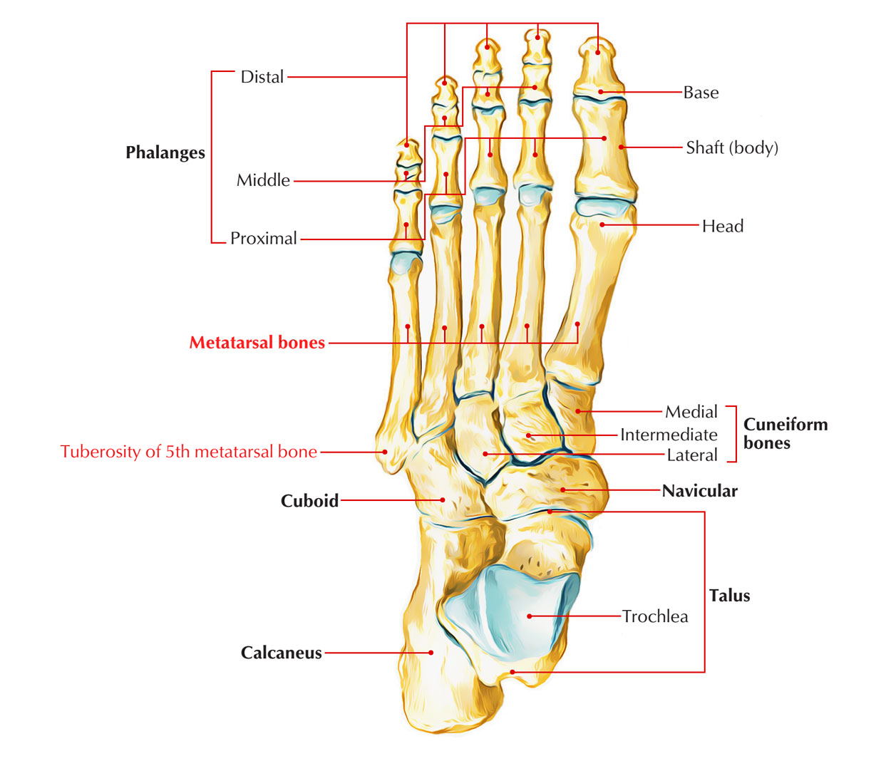 Fifth Metatarsal