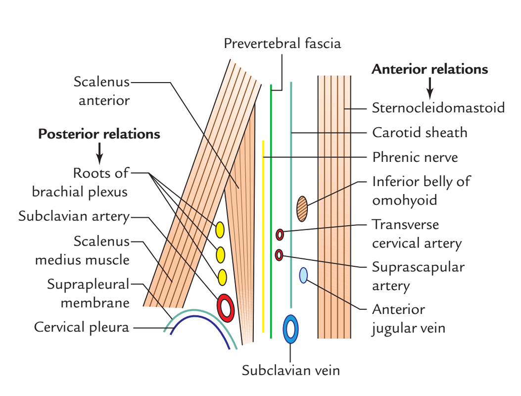 Anterior Scalene Muscle: Relations
