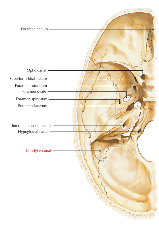 Condylar Canal