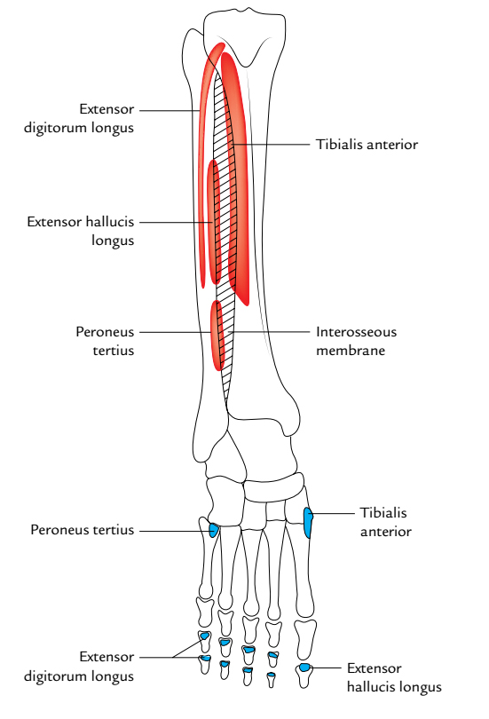Extensor Hallucis Longus: Origin and Insertion