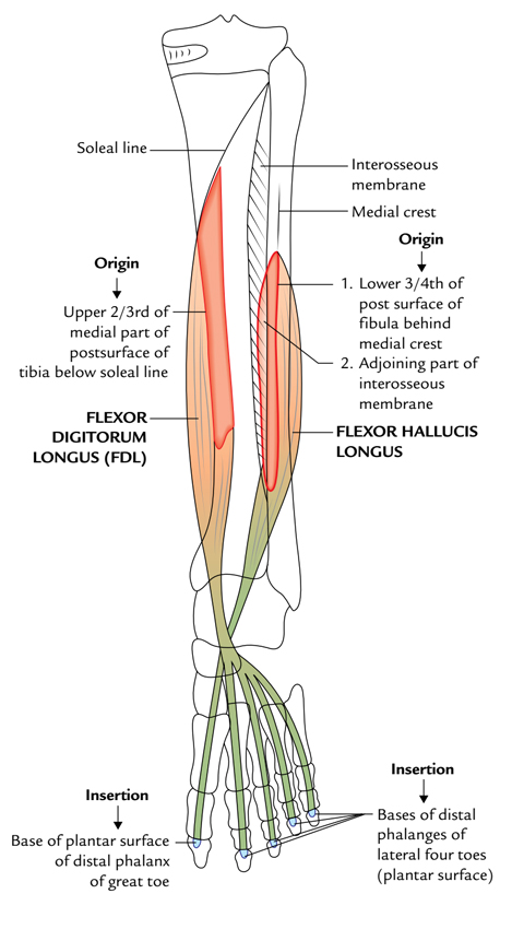 Flexor Digitorum Longus: Origin and Insertion