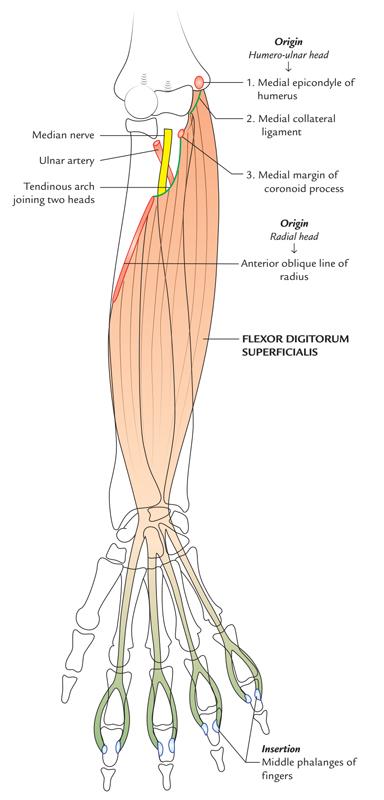 Flexor Digitorum Superficialis: Origin and Insertion