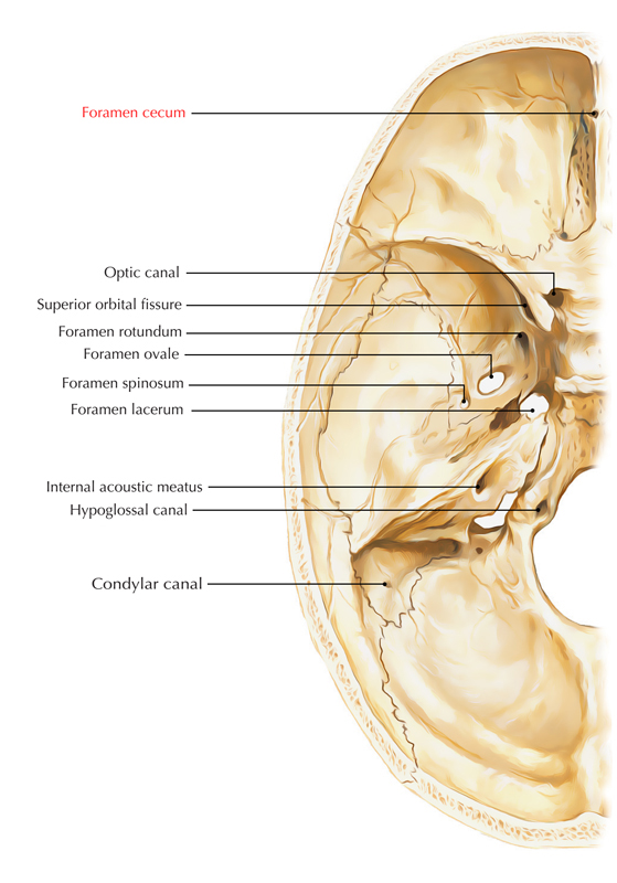 Cecum Of Frontal Bone