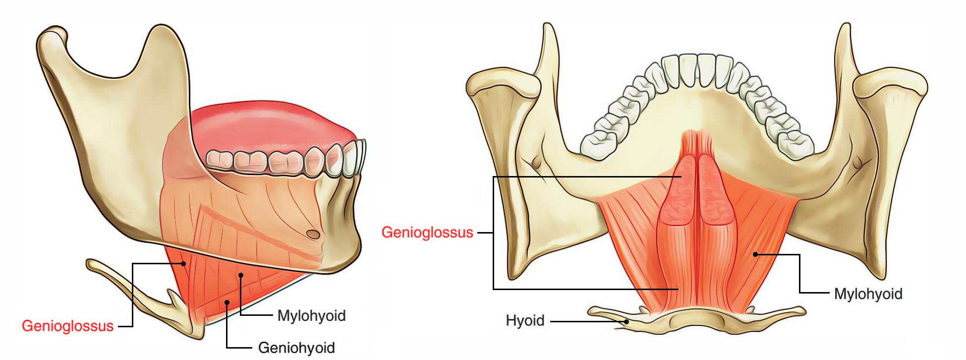 Base Of The Tongue Anatomy