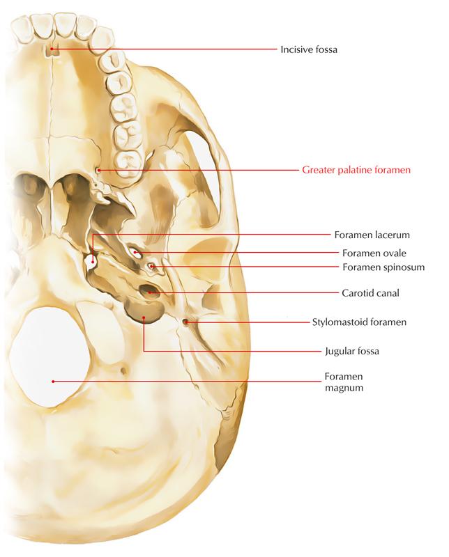 Greater Palatine Foramen