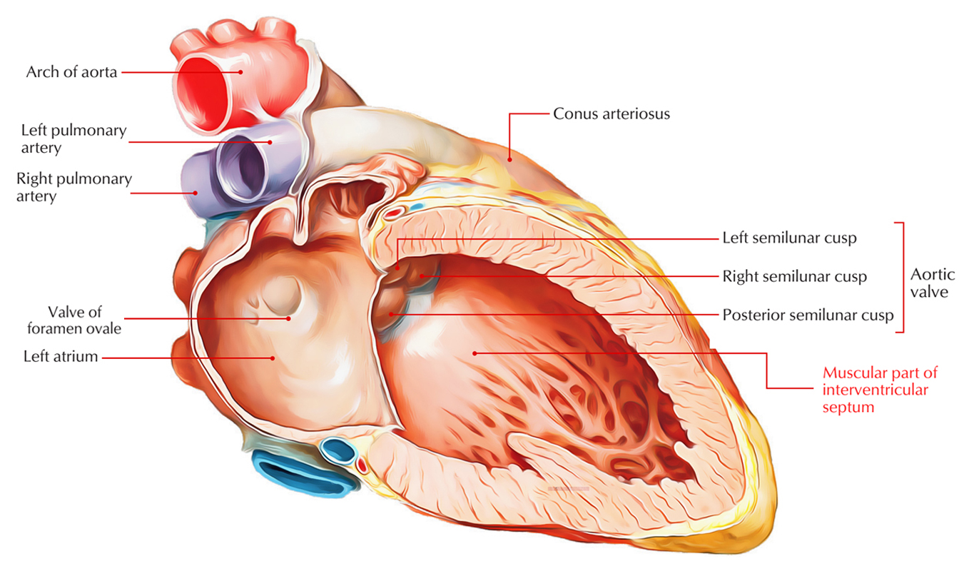 Interventricular Septum: Parts