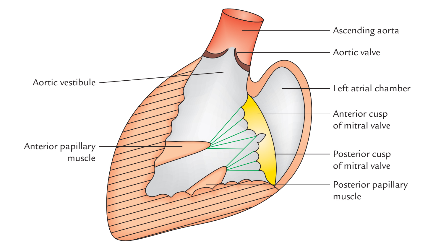 Left Atrium: Internal Features