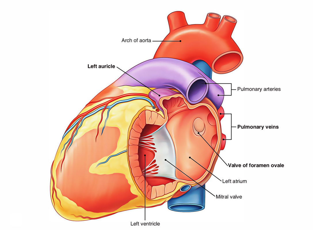 Left Atrium: Openings