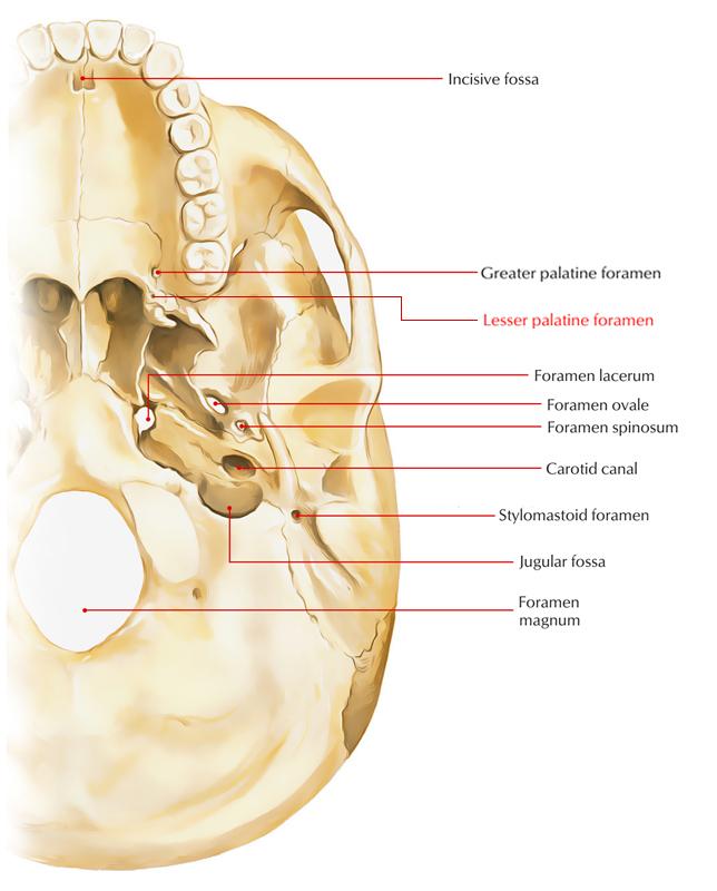 Lesser Palatine Foramen