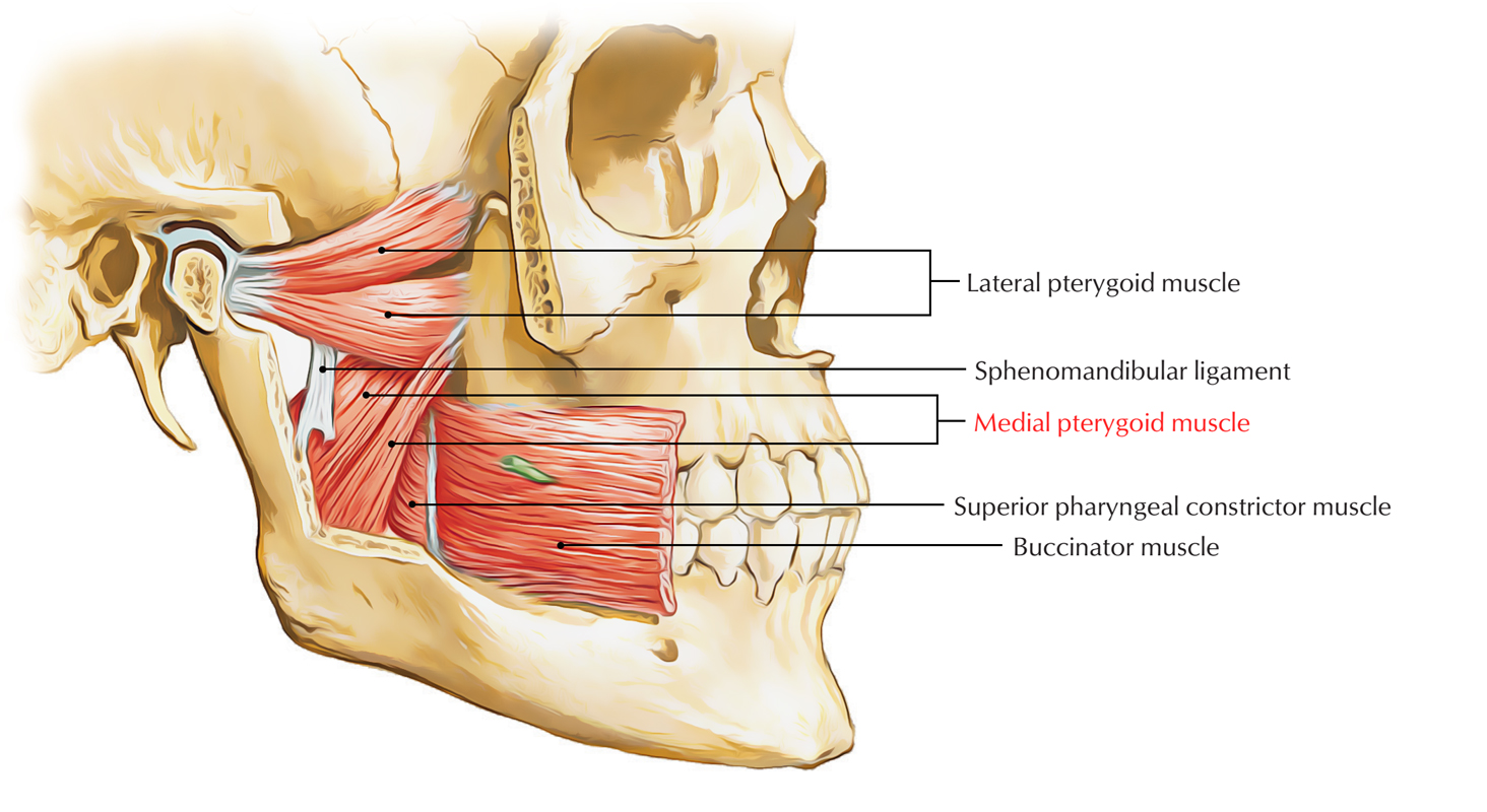 Medial Pterygoid Muscle
