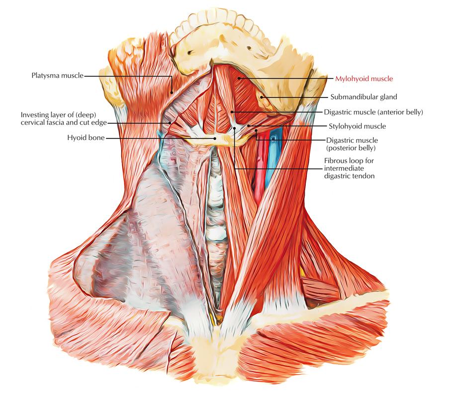 Mylohyoid Muscle Mylohyoideus Muscle