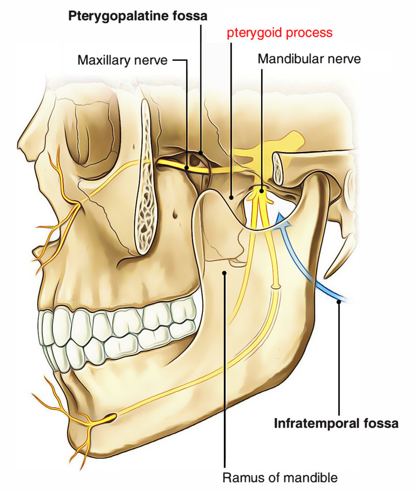 Pterygoid process