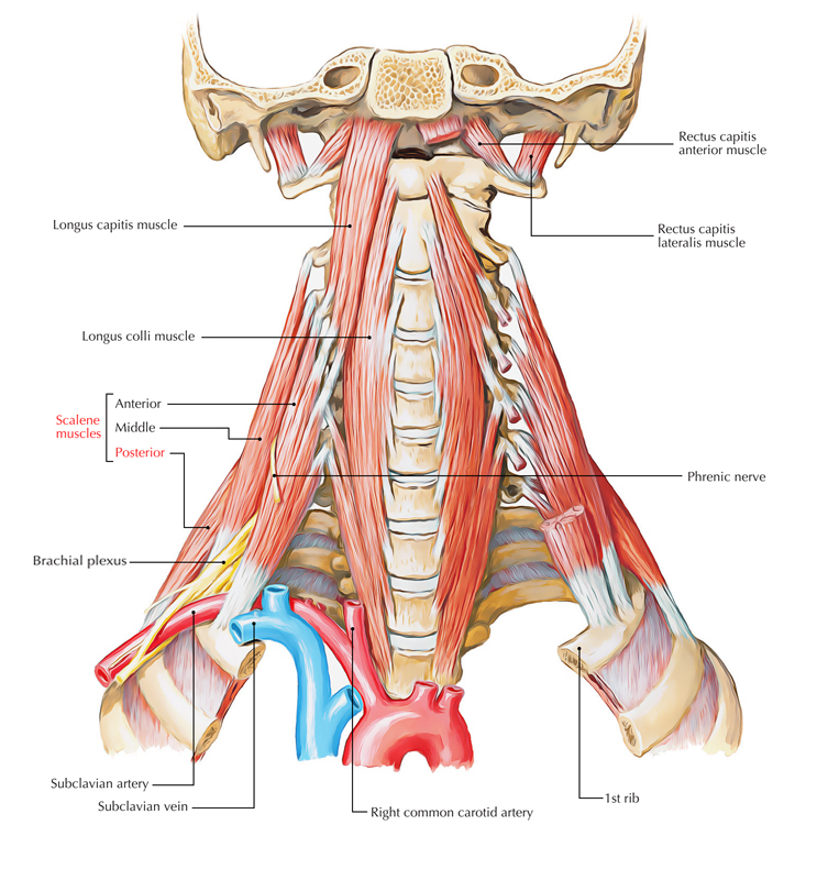 Posterior Scalene Muscle