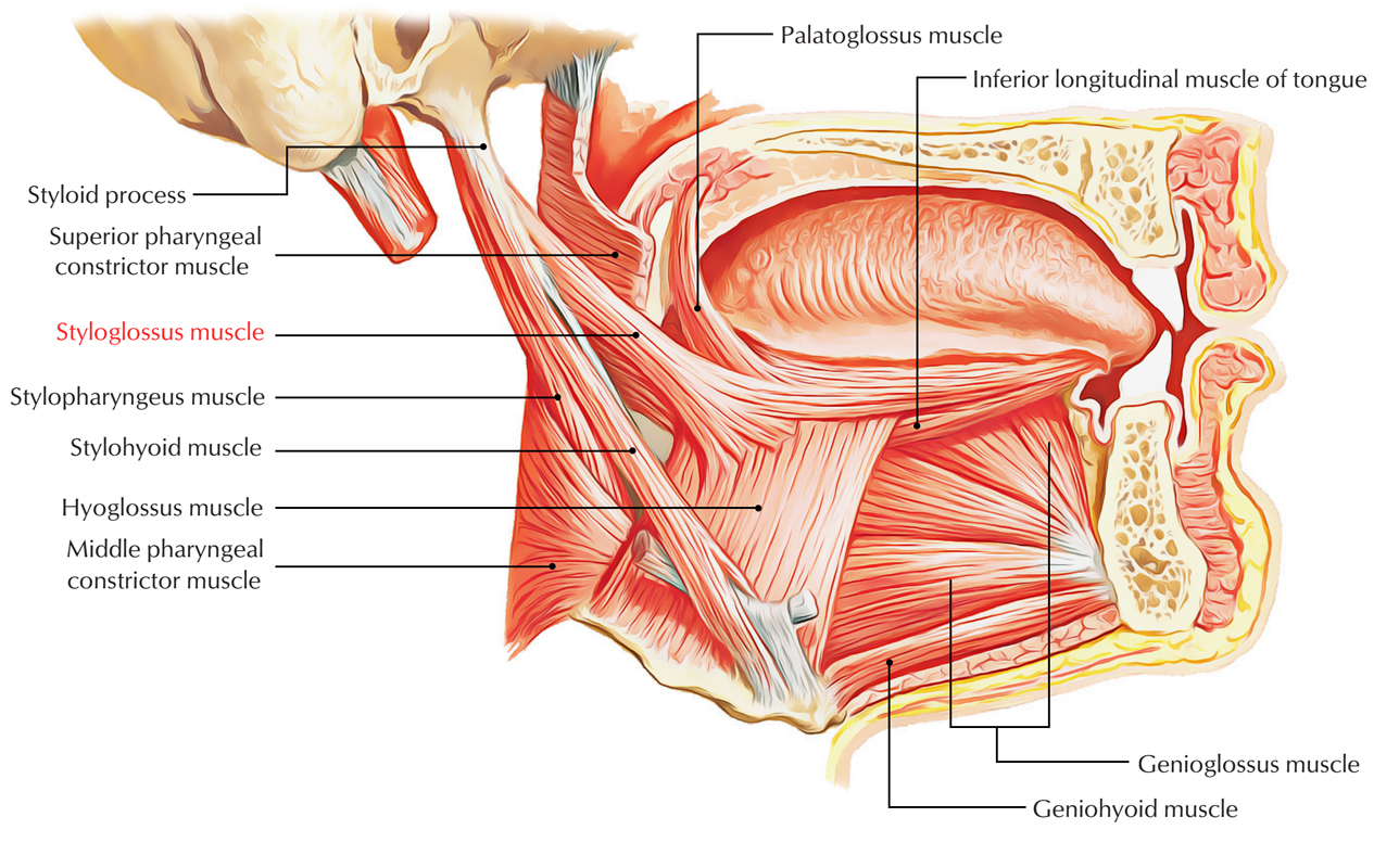 Styloglossus Muscle