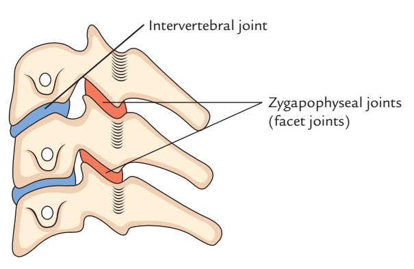 Zygapophyseal Joints (Facet Joints)