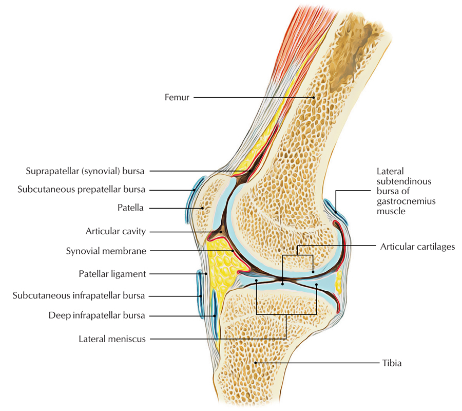 Bursa knee anatomy