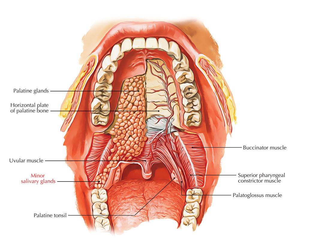 Minor Salivary Glands