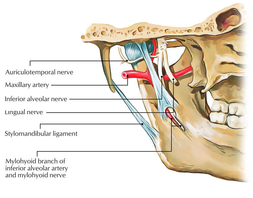 Mylohyoid Nerve Supply