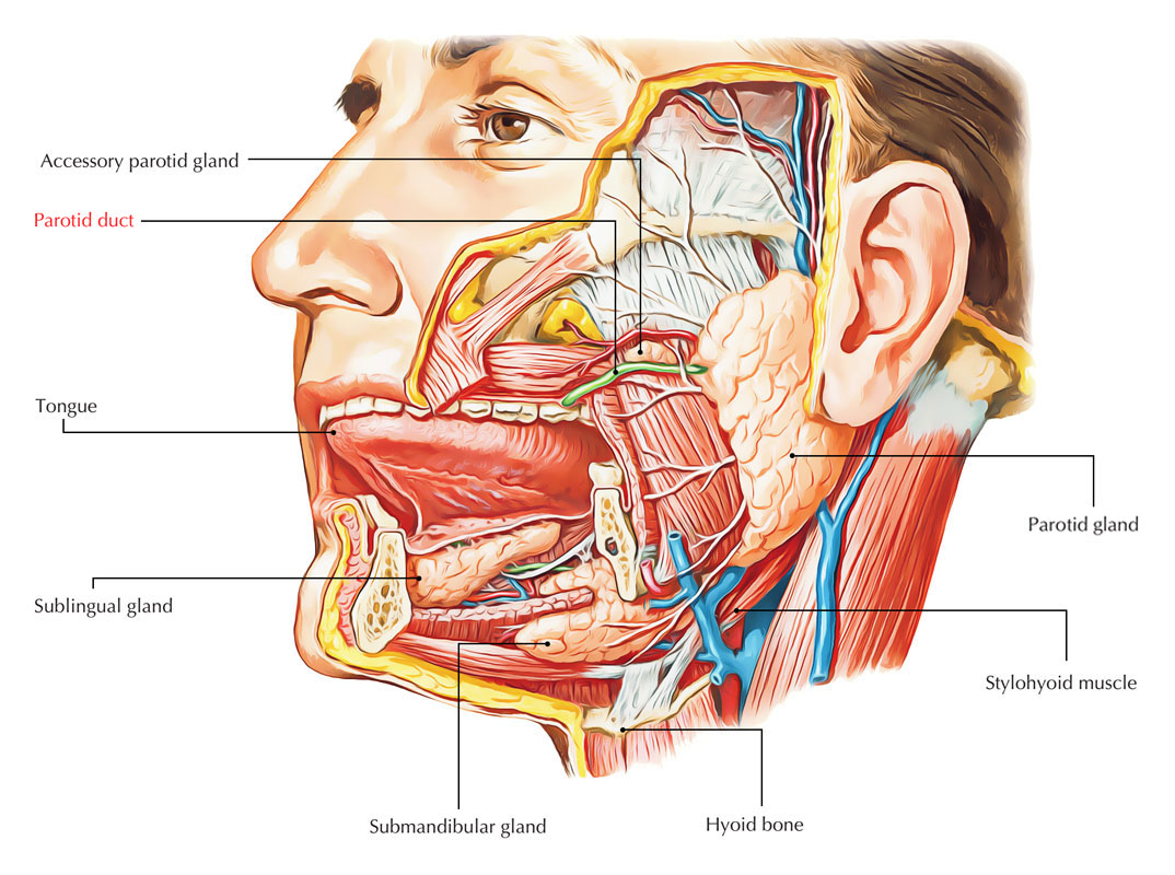 Parotid Ducts