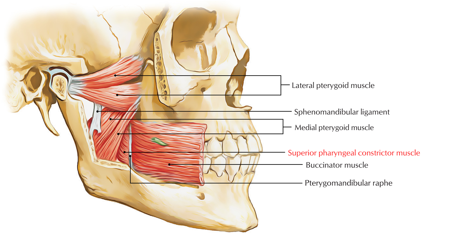Superior Constrictor Muscle – Pharyngeal