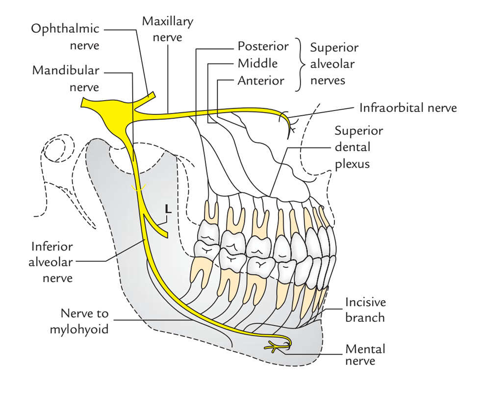 Course of Inferior Alveolar Nerve