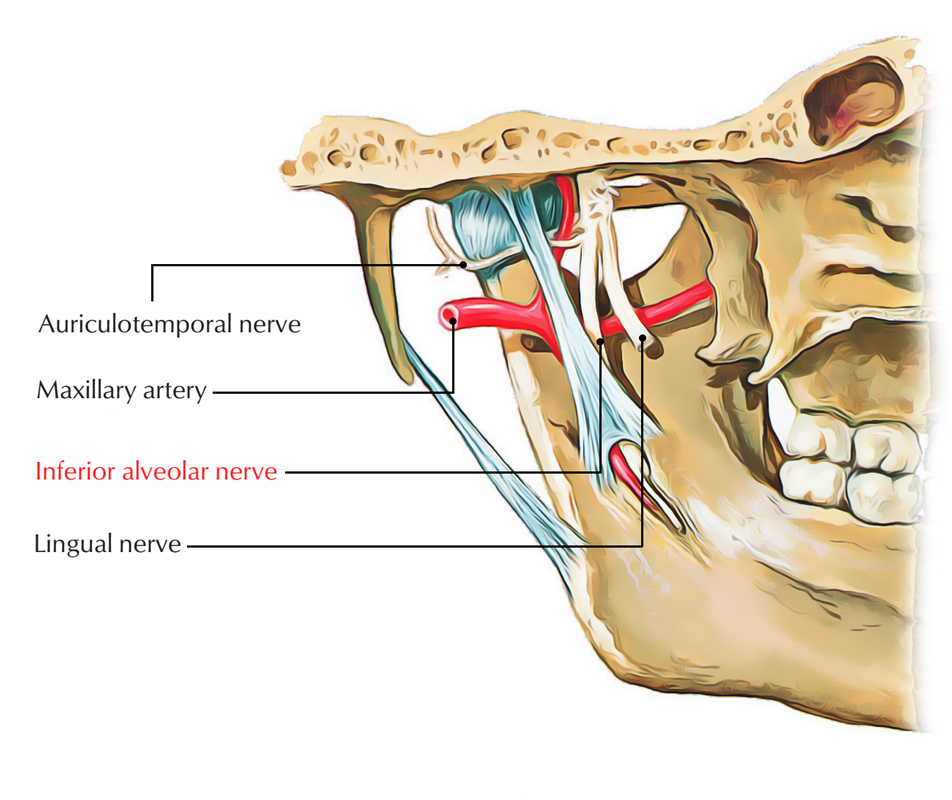 Inferior Alveolar Nerve – Earth's Lab