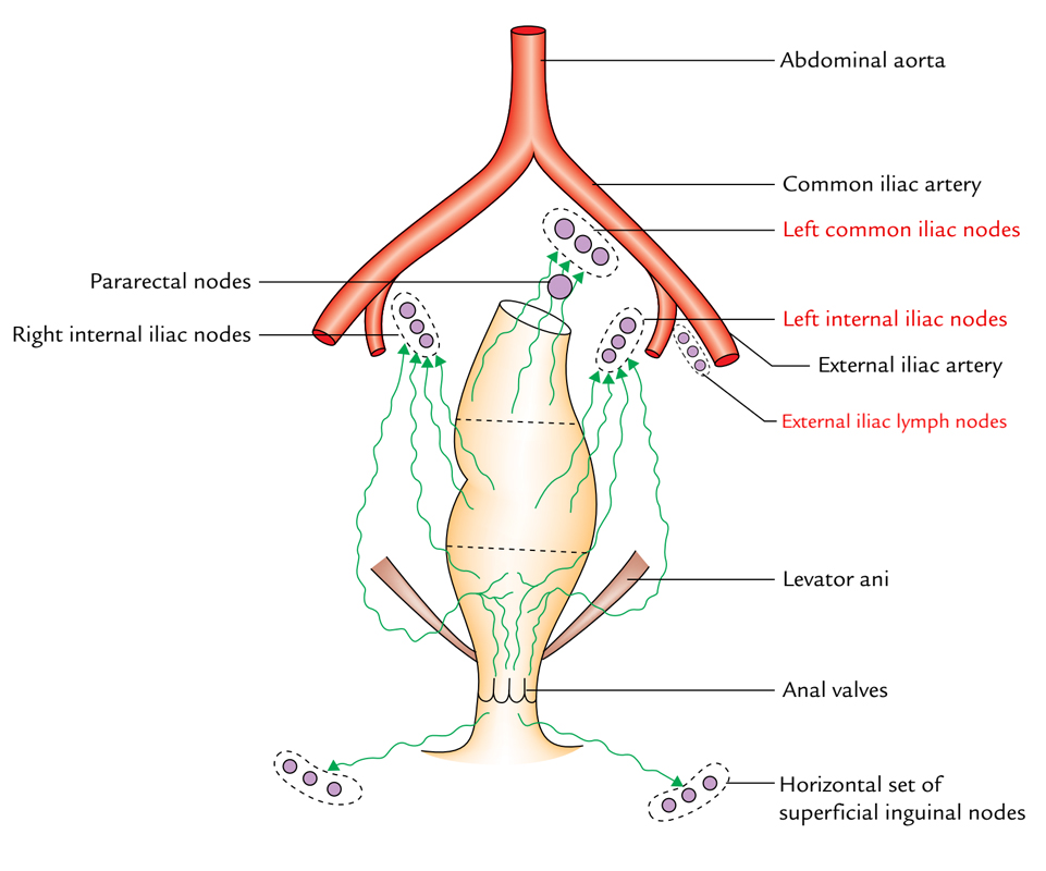 Lymphatic Drainage Of The Pelvis