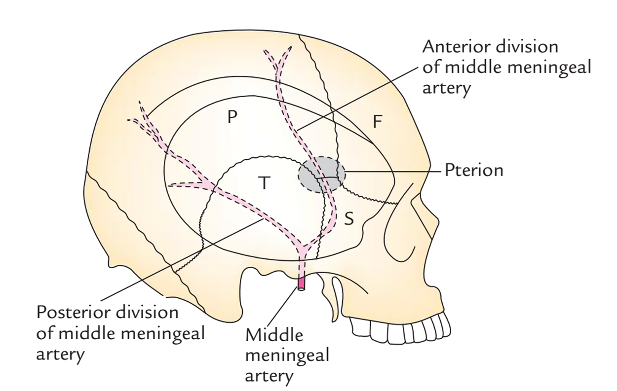Middle Meningeal Artery: Branches