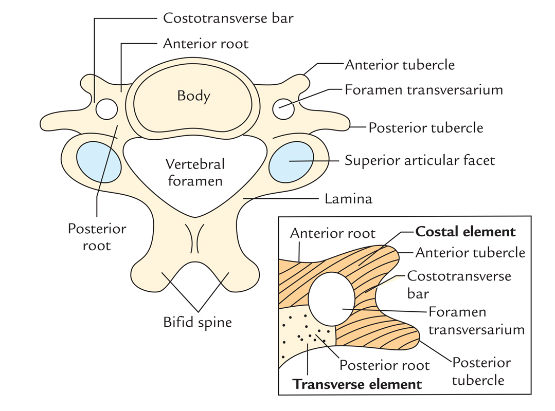 Transverse processes of Cervical Vertebrae
