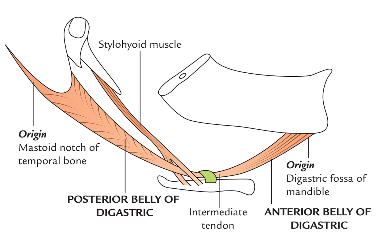 Digastric Muscle: Origin and Insertion